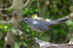 Gray Catbird (Alan Gutsell) Tags: graycatbird gray catbird quintana birds birdsoftexas alan birding gulfcoast naturephoto nature wildlife canon camera spring migration