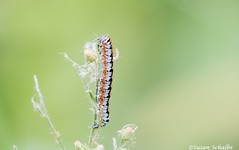 An orange black and white caterpillar (Photosuze) Tags: insects lepidoptera caterpillars colorful bugs feeding arizona animals nature wildlife
