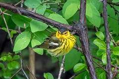 MistyMay (jmishefske) Tags: wehr capemay warbler nikon bird wisconsin nature d500 park center whitnall milwaukee 2019 franklin may