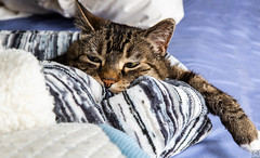 Super chilled Gucci- my beloved tabby (Christy Turner Photography) Tags: cat cats meow kitty kitteh feline purr gatto tabby animals domesticshorthair