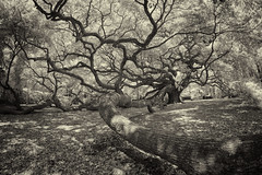 _DSC0058 Angel Oak Infrared B&W (Charles Bonham) Tags: infrared angeloak liveoak tree leaves charlestonsc limbs sepia sonya7r rokinon12mmf28fisheye charlesbonhamphotography explore
