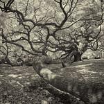 _DSC0058 Angel Oak Infrared B&W thumbnail