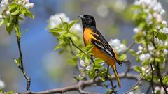 Oriole  9067 (Paul McGoveran) Tags: bird hendrievalley nature nikon500mmf4 nikond850 orange oriole coth5