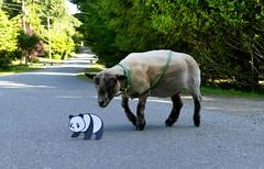 Good, Good Panda ! ( And Anise ) (aprilamb) Tags: goodpandacontest