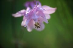 IMG_1909 (情事針寸II) Tags: som berthiot cinor 115 f40 mm flower bokeh oldlens nature