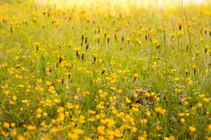 Wiese (kuuan) Tags: mrokkor f240mm 40mm sonynex5n nex5n austria meadow flowers blumenwiese wiese colorful f2 mrokkorf240mm yellow