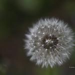 Tarassaco comune - Taraxacum officinale thumbnail