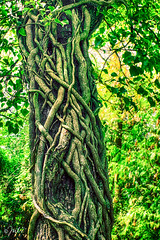 Natural Design (JuliSonne) Tags: tree bark roots devoured engulfed rank growtogether nature wild