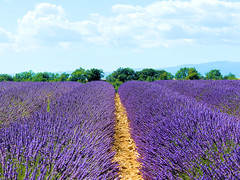 P1120942 (alainazer2) Tags: valensole provence france fiori fleurs flowers fields champs ciel cielo sky colori colors couleurs lavande lavanda lavender