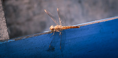 Libellule Orangée (Alain@BlueSunset) Tags: libellule dragonfly bleu blue ailes wings bug insecte macro