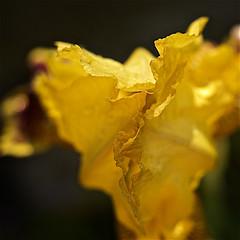 Entrouverte (mifranc91) Tags: nikon d700 leitz summitar 250 bokeh fleur flower jaune iris