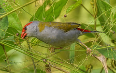 red-browed finch (Fat Burns ☮) Tags: redbrowedfinch neochmiatemporalis smallbird nikond500 nikon200500mmf56eedvr nature outdoors bird australianbird fauna australianfauna oxleycreekcommon brisbane queensland australia feathers finch