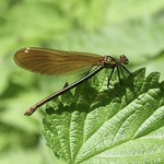 Female Beautiful Demoiselle (Calopteryx virgo) thumbnail