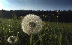 Dandelion in the evening light. (KF-Photo) Tags: 1610 abendlicht butterblumen fujif100fd gegenlicht löwenzahn macro makroeinstellung neckartal oferdingen pusteblume wiese dandelion