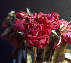 Dry Roses on Dying Ektar (nEjmEd) Tags: linhof linhofkardanbi4x5 colourfilm kodakektar100 expiredfilm roses dry selfdeveloped