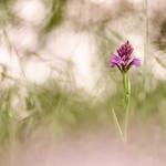 Orchis pyramidal thumbnail