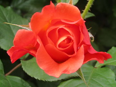 a rose from China (VERUSHKA4) Tags: canon china ville asia beijing vue view red rose flower flora fleur petal garden blossom spring april nature green leaf verdure springtime chinese beautiful rouge plant capture astoundingimage