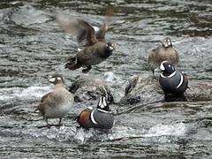 DSCN4320 harlequin ducks (starc283) Tags: harlequinduck harlequinducks naturesfinest naturewatcher starc283 flickr flicker finest wildlife waterfowl bird birding birds he