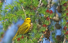 Paruline jaune / Yellow Warbler (alainmaire71) Tags: jaune yellow oiseau bird parulidae parulidés dendroicapetechia parulinejaune yellowwarbler paruline warbler nature quebec canada