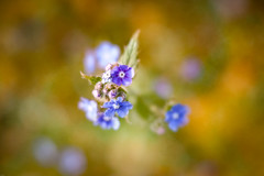 Blue flowers (judy dean) Tags: 365the2019edition 3652019 judydean 22may19 day142365 flowers garden textured ps greenalkanet blue lensbaby