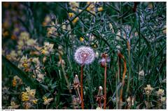 Im Dschungel der Natur / In the jungle of nature (Reto Previtali) Tags: natur blumen wiesen wiese felder farben pflanzen macro gelb grün jahreszeiten frühling licht sonne tag perspektive nah nikkor nikon tamron flickr digital