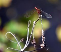 Dragonfly (T's PL) Tags: bokeh craigcounty dragonfly fenwickmines fenwickminesrecreationarea macro nikond7200 nikon d7200 nikondslr tamron18400 nikontamron tamron18400mmf3563diiivchld tamron18400mmf3563diiivchldmodelb028tamron triptofenwickmineswithjenellewillie virginia va