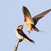 Barn Swallow - Hirundo rustica, Chincoteague National Wildlife Refuge, Chincoteague, Virginia