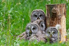 Familienbande (dd foto) Tags: bartkauz eule vögel bird animals wildlife nikon d7100 tamron marlow vogelpark mecklenburgvorpommern
