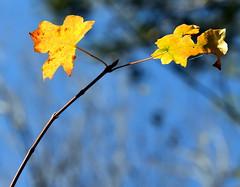 3-FallLeafs (T's PL) Tags: craigcounty fenwickmines fenwickminesrecreationarea nikond7200 nikon d7200 nikondslr tamron18400 nikontamron tamron18400mmf3563diiivchld tamron18400mmf3563diiivchldmodelb028tamron triptofenwickmineswithjenellewillie virginia va fallcolor fallleaf fallleafs leaf leafs