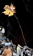 2-FallLeaf (T's PL) Tags: craigcounty fenwickmines fenwickminesrecreationarea nikond7200 nikon d7200 nikondslr tamron18400 nikontamron tamron18400mmf3563diiivchld tamron18400mmf3563diiivchldmodelb028tamron triptofenwickmineswithjenellewillie virginia va leaf