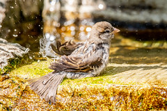 Bathtime! (Linda Martin Photography) Tags: dorset backgarden wildlife nature bird sparrow passerdomesticus uk animal naturethroughthelens coth alittlebeauty specanimal ngc coth5