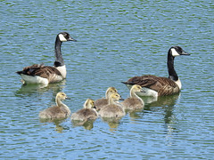 Family of Canada Geese at the Lake (annette.allor) Tags: canadian geese goose lake water outdoors nature birds gander