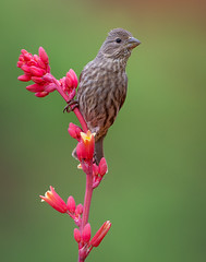 House Finch (female) (Eric Gofreed) Tags: arizona finch housefinch mybackyard redyucca sedona villageofoakcreek yavapaicounty