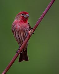 House Finch (male) (Eric Gofreed) Tags: arizona finch housefinch mybackyard sedona villageofoakcreek yavapaicounty