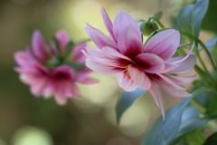 Dahlias (Nature Box) Tags: fleur flower dahlia printemps macro nature spring