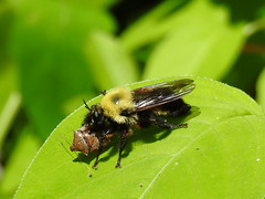 Bumblebee Mimic Robber Fly with Stink Bug (annette.allor) Tags: insect bug bumble bee nature robber fly woods