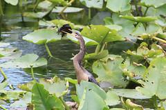 Anglų lietuvių žodynas. Žodis spear-fish reiškia n zool. buržuvė lietuviškai.