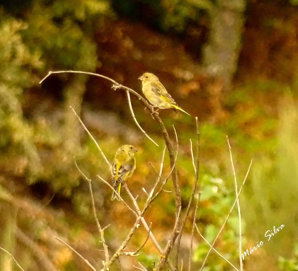 Águas Frias (Chaves) - ... casal de aves (Verdilhão _ Carduelis chloris) ...