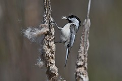 Black-capped Chickadee (kevinwg) Tags: blackcapped chickadee blackcappedchickadee bird cattail