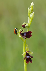 Meadow Fly Orchid with Ladybird - Ophrys insectifera (favmark1) Tags: kent orchids kentorchids wildorchids britishorchids flyorchid ophrysinsectifera ladybird