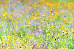 (kuuan) Tags: canon m39 ltm canonltmf1885mm 1885 f1885mm mf manualfocus canonm39f1885mm sonya7 flowers meadow blumenwiese blumen colorful bunt colors macro closefocusing helicoidadapter wideopen