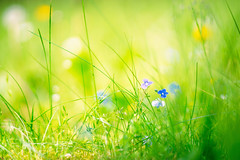 (kuuan) Tags: canon m39 ltm canonltmf1885mm 1885 f1885mm mf manualfocus canonm39f1885mm sonya7 flowers meadow blumenwiese macro closefocusing helicoidadapter wideopen
