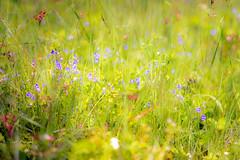 (kuuan) Tags: austria wiese blumenwiese flowers meadow manualfocus mf ltm m39 canon rangefinder f14 50mm 1450 canonltmf1450mm macro closefocusing helicoidadapter wideopen