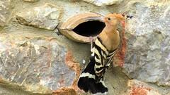 Hop/ Hoopoe (Meino NL) Tags: hop hoopoe upupaepops hoppen upupidae aves costabrava spain catalunya vogel bird