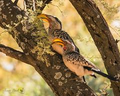 Southern Yellow-billed Hornbill (Jennie Stock) Tags: tockusleucomelas ghanzi southernyellowbilledhornbill dqaeqaresanlodge