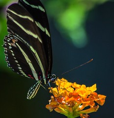 On Top (ACEZandEIGHTZ) Tags: zebralongwing butterfly wings flyinginsect lantana flower macro closeup heliconiuscharitonius nature bokeh coth5 sunrays5