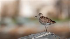 (c)WMH_2019_05_23_6705 Willet (WesleyHowie) Tags: birds willet canada hartlenpoint wildlife location novascotia