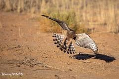 KTP19 FL-9616 (Sharing Wildlife | Sharing Moments) Tags: kgalagadi transfrontier park wildlife safari nature animals sharing birds vogels
