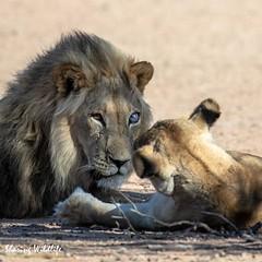 KTP19 FL-8847 (Sharing Wildlife | Sharing Moments) Tags: kgalagadi transfrontier park wildlife safari nature animals sharing lion leeuw