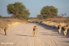 KTP19 FL-6618 (Sharing Wildlife | Sharing Moments) Tags: kgalagadi transfrontier park wildlife safari nature animals sharing lion leeuw